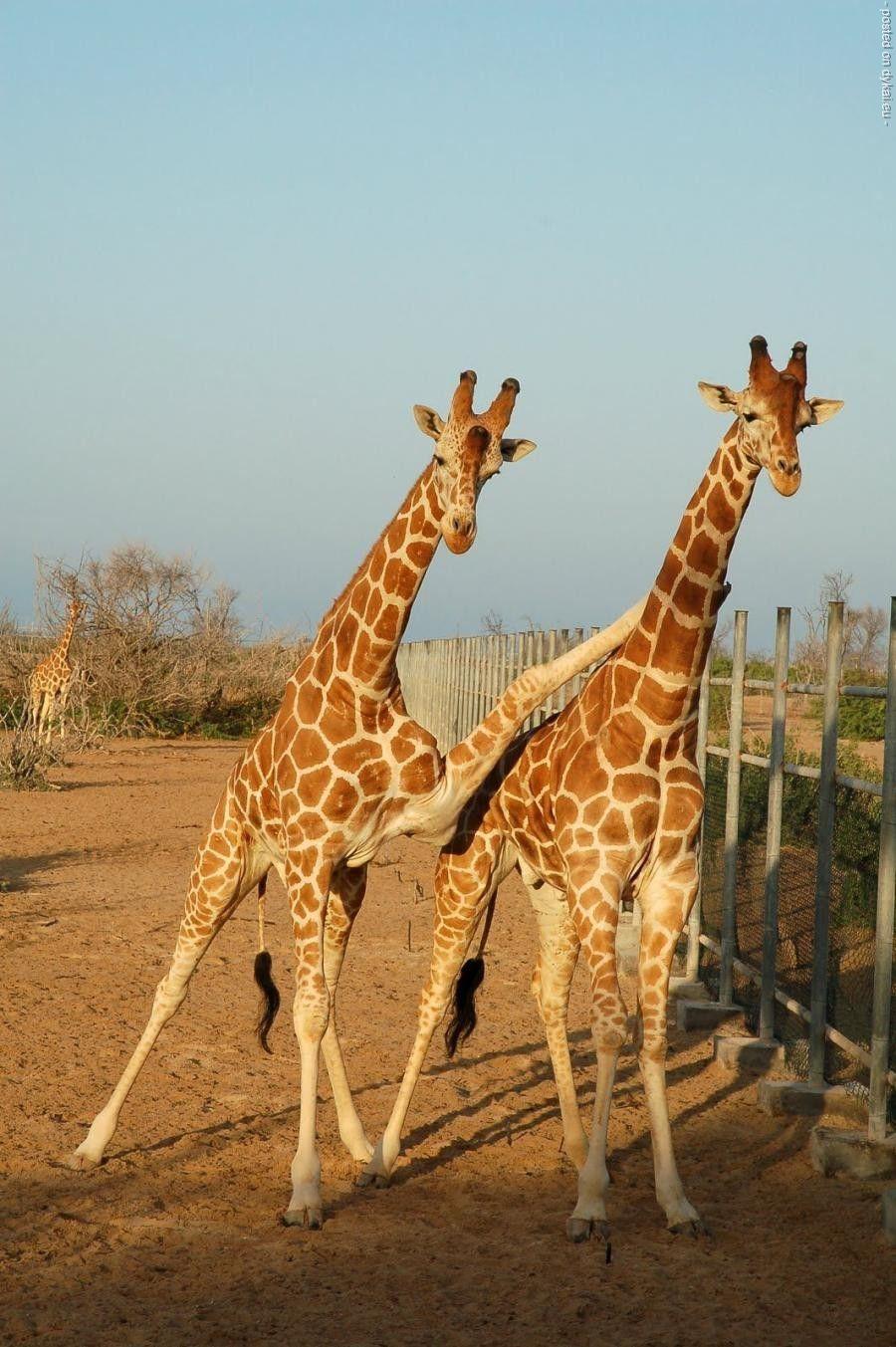 Жирафенок прикольные картинки 4