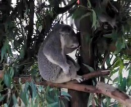 2. Koala gitaristė