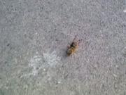 3. Bitės ir vapsvos kova