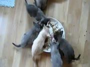 2. Niam-niam (kalbančių kačių kompiliacija)