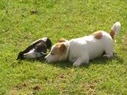 4. Keista varna žaidžia su šuniuku