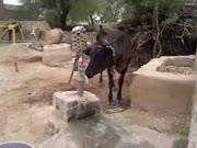 2. Labai protinga karvė