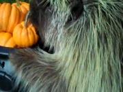 3. Porcupinas juokingai valgo dynią hibridas