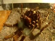 2. Tarantulas keičia apdarą