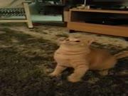 1. Nervuotas - traukuliuotas katinas