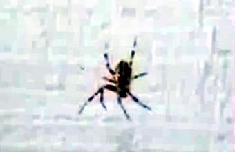 3. Juokinga voro reakcija į garsus