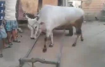 1. Dresiruota karvė
