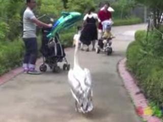 1. Pelikanas - bosas