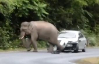 2. Dramblys trypia automobil?